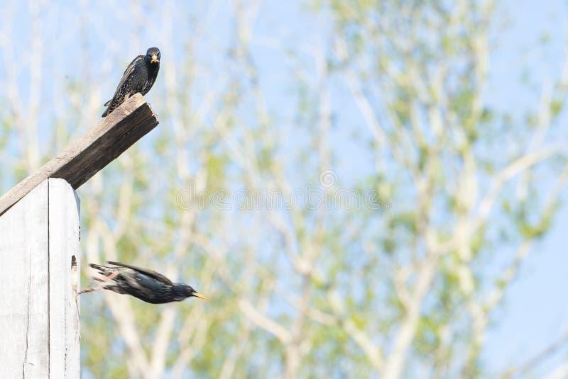 Star auf seinem Vogelhaus an einem klaren Frühlingstag stockfoto