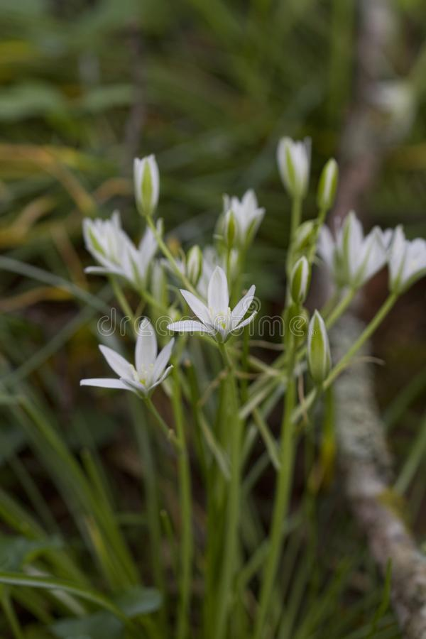 Star of Bethlehem Wildflower - Ornithogalum umbellatum stock image