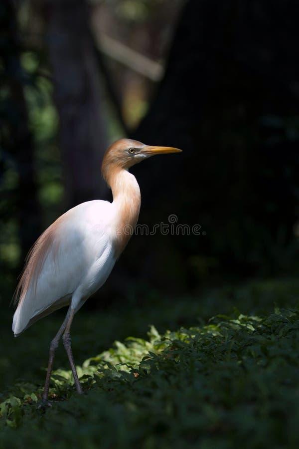 Sang Bangau. Bird collection at Taman Mini Indonesia Indah (TMII stock photography