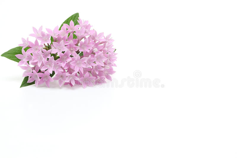 Star cluster in a white background. Pictured Star cluster in a white background royalty free stock images