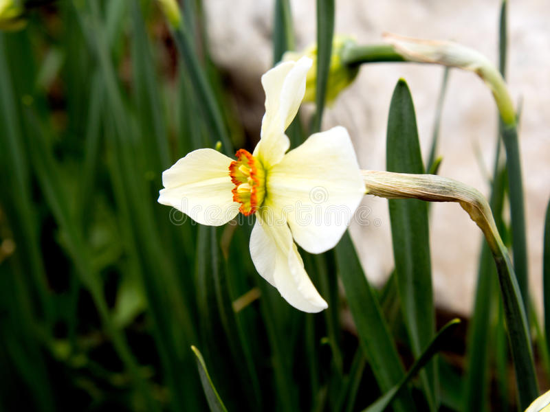 Download Star of David Narcis stock photo. Image of spring, bloom - 91657836
