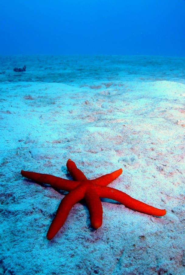 Star fish. Scuba diving photo star fish picture taken in okinawa japan stock image