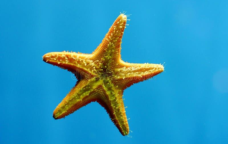 Download Star fish stock photo. Image of reef, bottom, aqua, life - 6923694