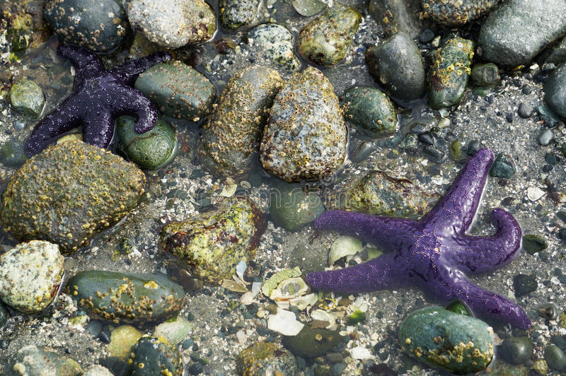 Star fish by shore stock photography