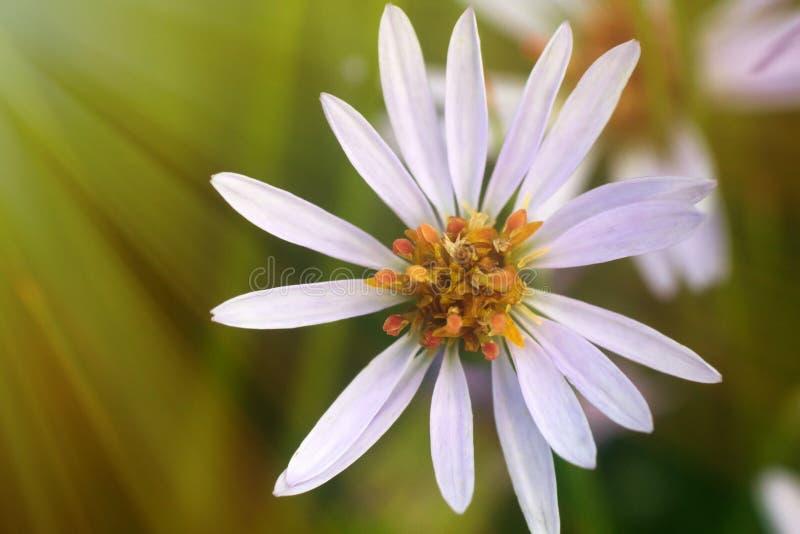 Star flower in the sun. Starwort, Große Sternmiere (Stellaria holostea stock photos