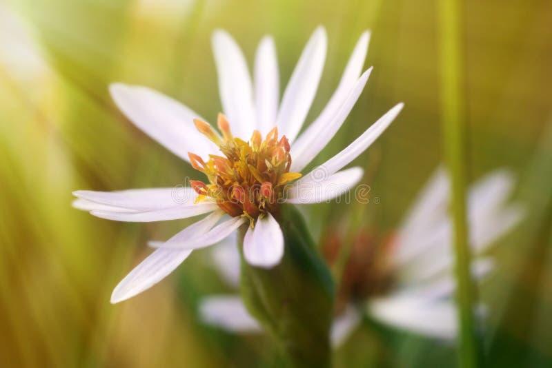 Star flower in the sun. Starwort, Große Sternmiere (Stellaria holostea stock photo