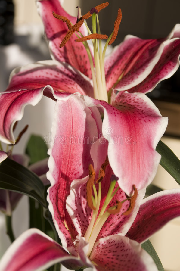 Download Star Gazer Lily stock photo. Image of flora, flower, garden - 6834224