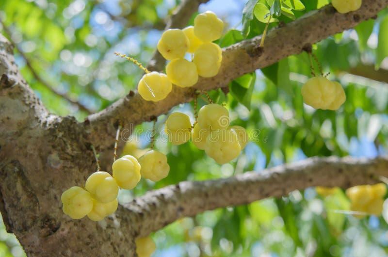 Star gooseberry on tree. Phyllanthus acidus Skeels stock images