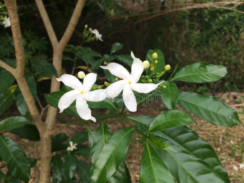 Star Jasmine Flower. The photo of one of Jasmine flower species, which is known as & x22;Star Jasmine& x22;. The flower is in white color, and have 5 petals stock photography