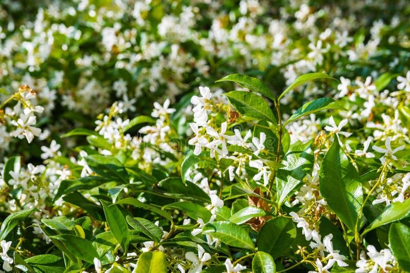 Star Jasmine Trachelospermum jasminoides blooming in a public garden, California royalty free stock photos