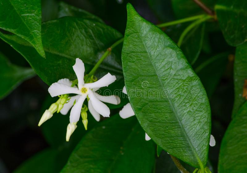 Star jasmine or Trachelospermum, white flower with its green leaves in a botanical garden. A Star jasmine or Trachelospermum, white flower with its green leaves stock images