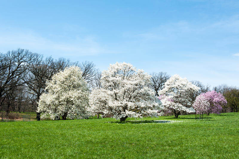 Star Magnolia. Trees in bloom at Morton Arboretum in Lisle, Illinois stock photography