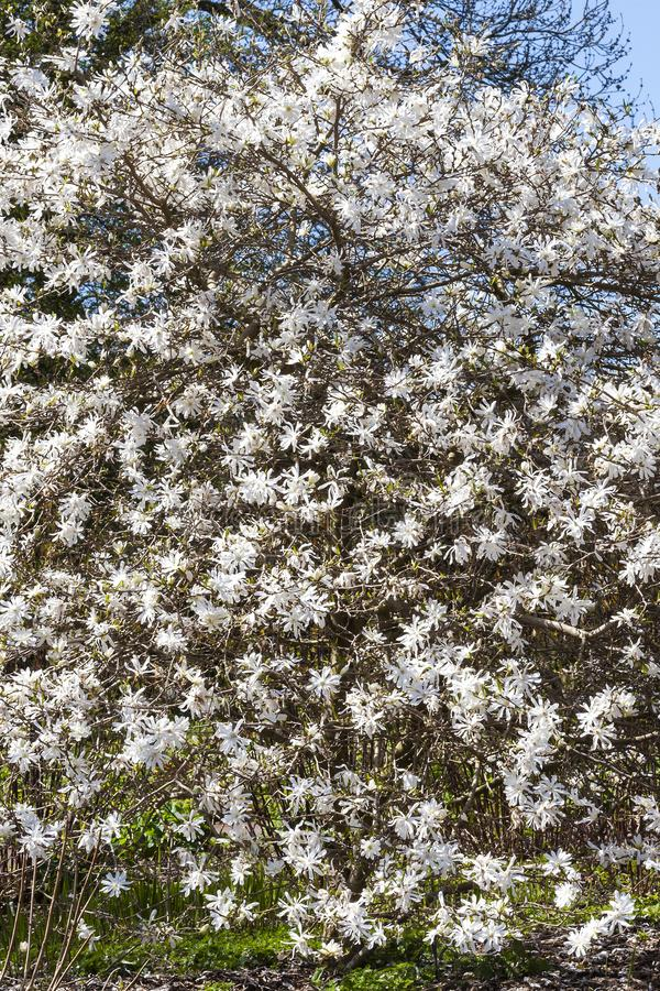 Star magnolia. A winter spring white flower shrub or small tree royalty free stock image