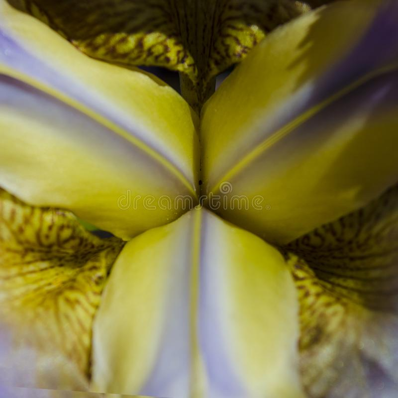 Star in the middle of an Iris Bloom. Close-up of the Star in the middle of an of a purple and yellow Iris Bloom stock photos