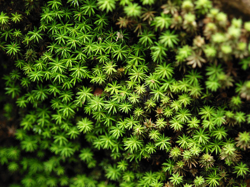 Star Moss Stock Images