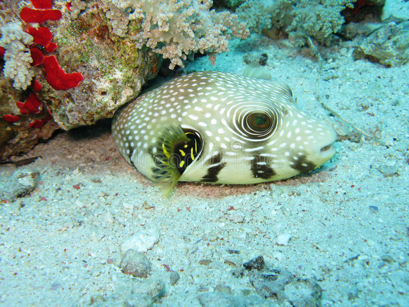 Star Puffer Fish. Arothron Stellatus better known as Star Puffer fish. Red Sea royalty free stock image