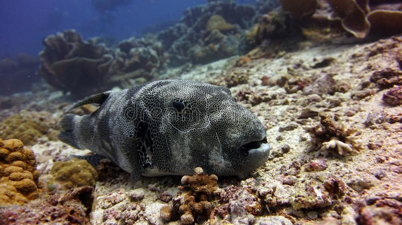 Star Puffer royalty free stock images