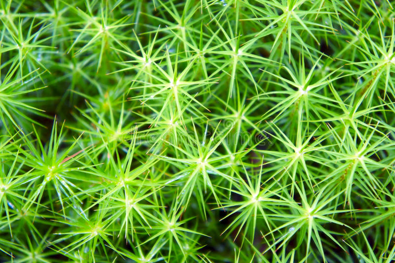 The star-shaped green moss closeup stock images