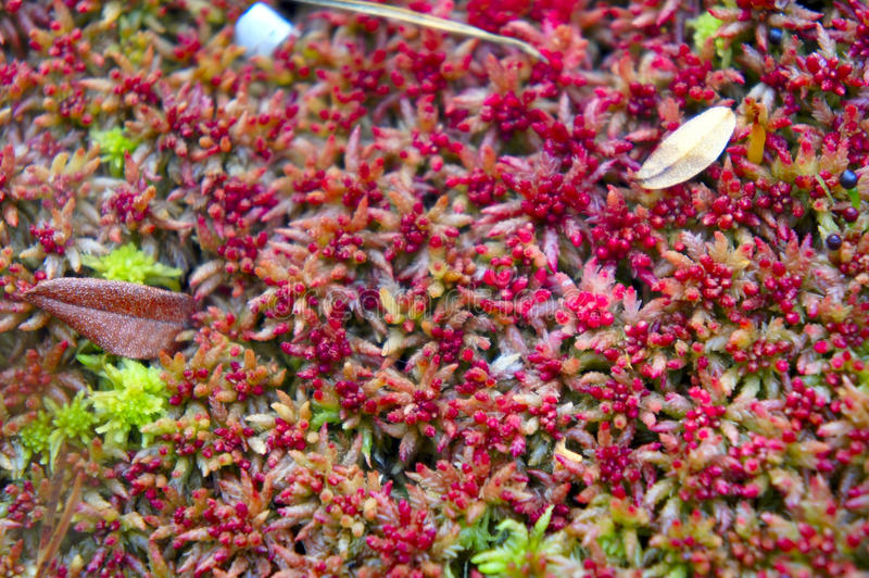 The star-shaped red moss closeup stock image