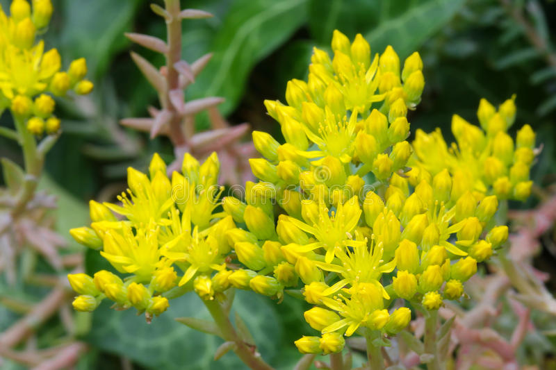 Star shaped yellow flowers of sedum stonecrop stock image image download star shaped yellow flowers of sedum stonecrop stock image image of flower mightylinksfo Images