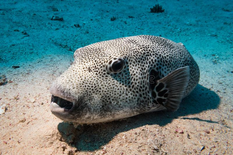 Star or stellate puffer royalty free stock photography