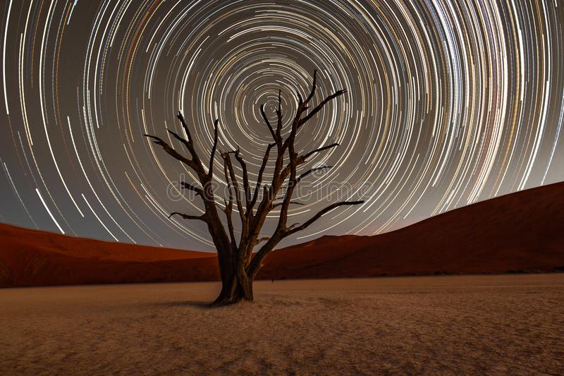Star trails circle over a camelthorn tree royalty free stock image