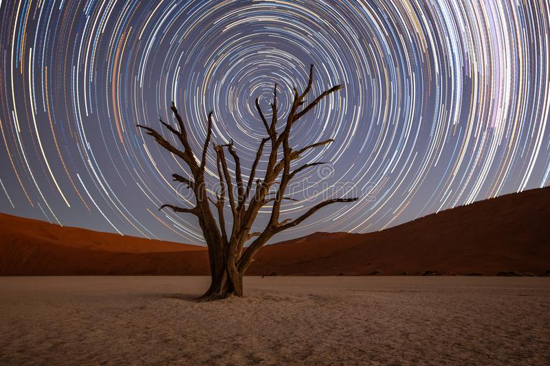 Star trails circle over a camelthorn tree royalty free stock images