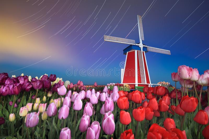 Star trails, windmill and tulips. This is a long exposure night scene of tulip field , windmill and star trails stock photos