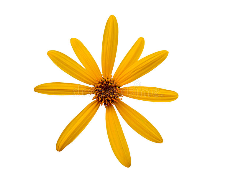 Star yellow flower on isolated. stock photo