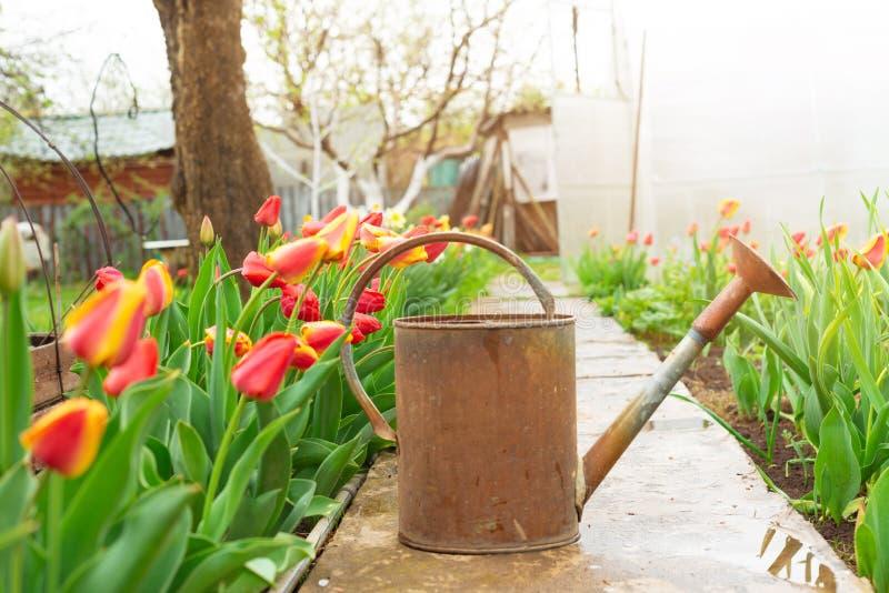 Stara blaszana ośniedziała podlewanie puszka w ogródzie z tulipanami kwitnie przy wiosną zdjęcia stock