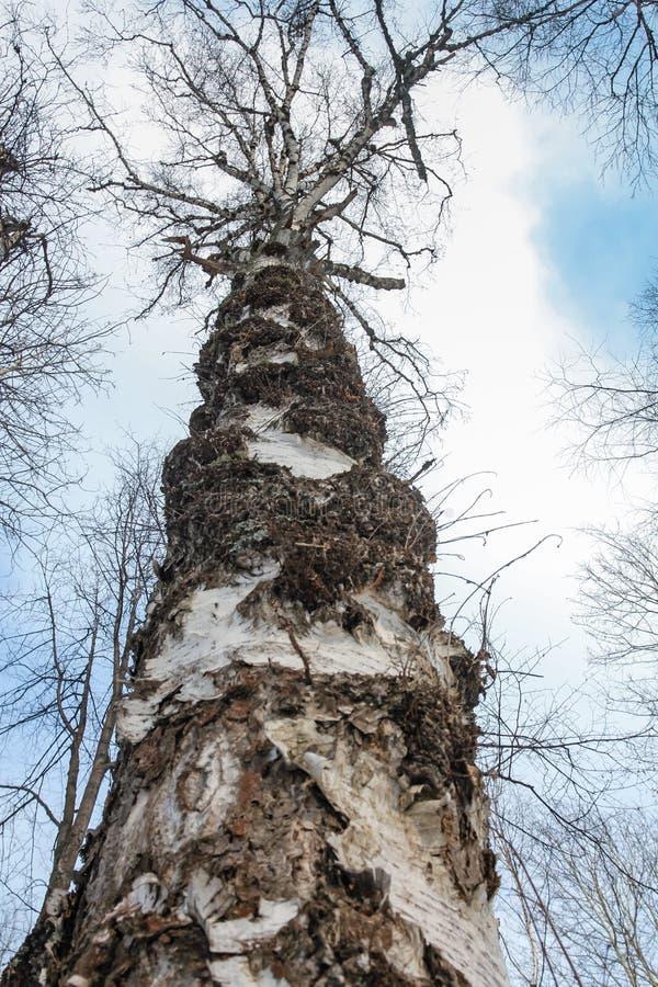 Stara brzoza przeciw niebu w naturalnego parka Olenyi strumykach w Sverdlovsk regionie fotografia stock