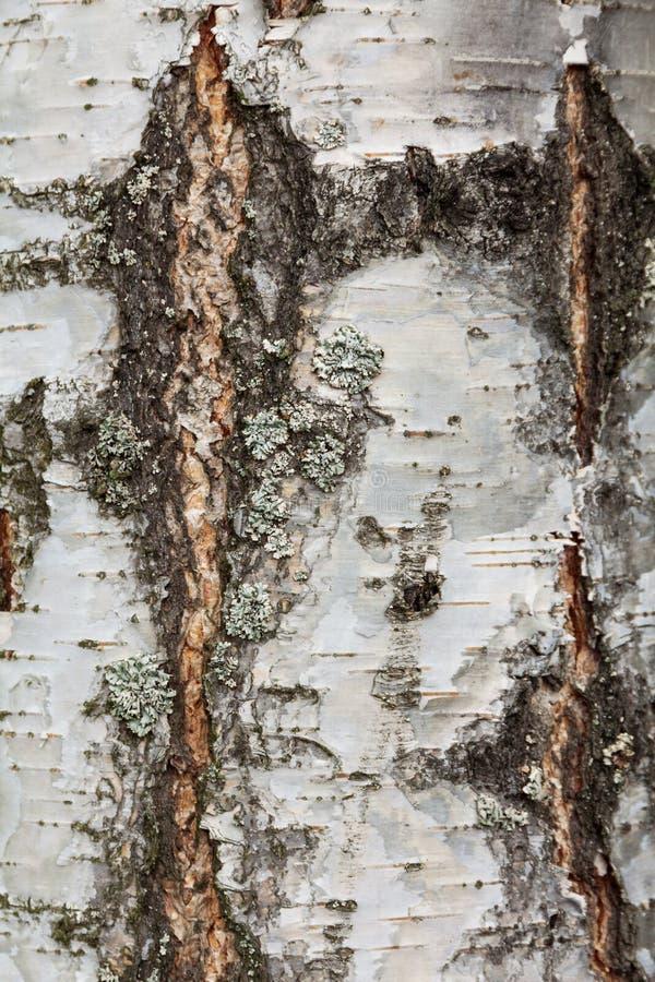 Stara brzozy barkentyna z pęknięciami i lampasa zakończeniem zdjęcie stock