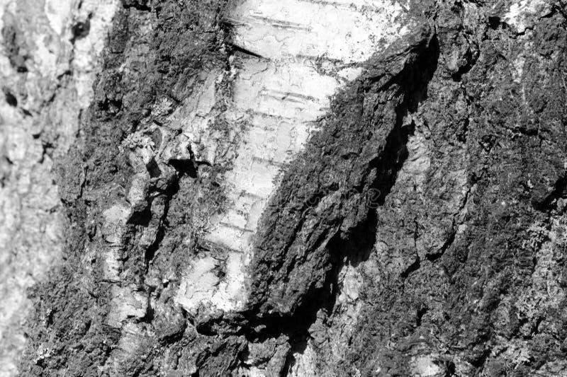 Stara brzozy drzewnej barkentyny tekstura Drzewnej barkentyny t?o Czarny I Bia?y zdjęcie stock