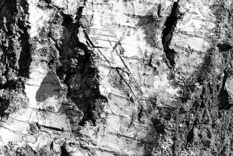 Stara brzozy drzewnej barkentyny tekstura Drzewnej barkentyny t?o Czarny I Bia?y zdjęcie royalty free