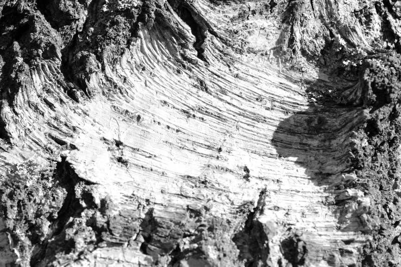 Stara brzozy drzewnej barkentyny tekstura Drzewnej barkentyny t?o Czarny I Bia?y obrazy stock