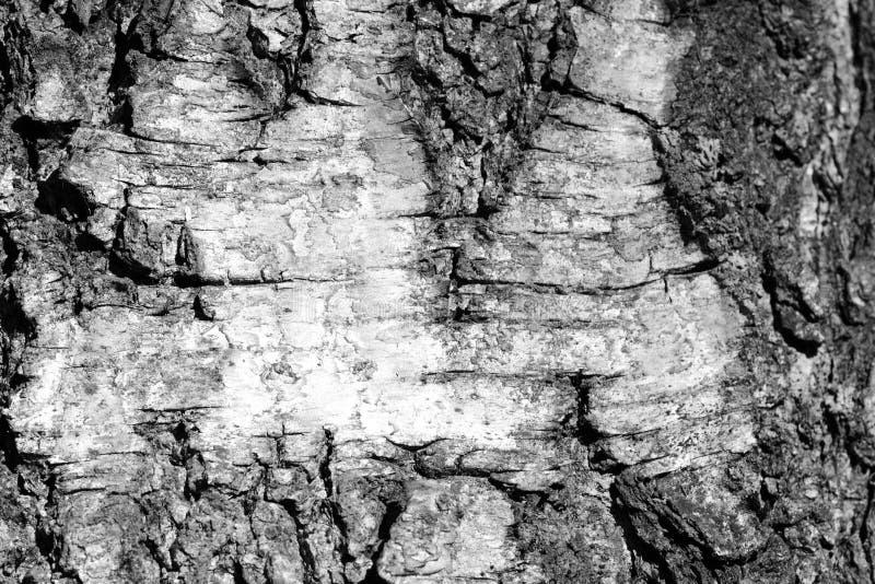 Stara brzozy drzewnej barkentyny tekstura Drzewnej barkentyny t?o Czarny I Bia?y obrazy royalty free