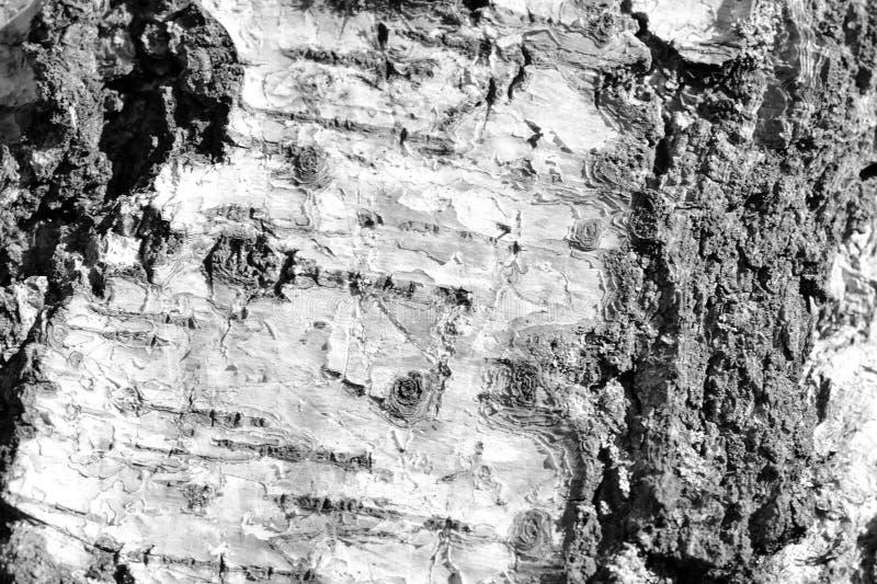Stara brzozy drzewnej barkentyny tekstura Drzewnej barkentyny t?o Czarny I Bia?y obraz stock