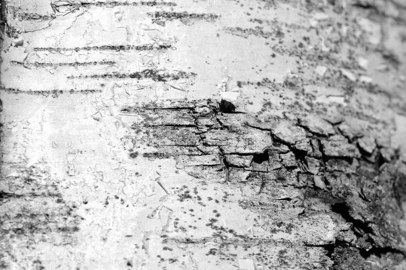 Stara brzozy drzewnej barkentyny tekstura Drzewnej barkentyny t?o Czarny I Bia?y zdjęcia royalty free