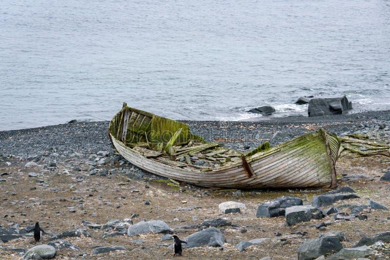 Stara drewniana łódź spada oddzielnie i zakrywający w algach na skalistej plaży, pingwiny chodzi za nim woda, Przyrodniej ks zdjęcie royalty free