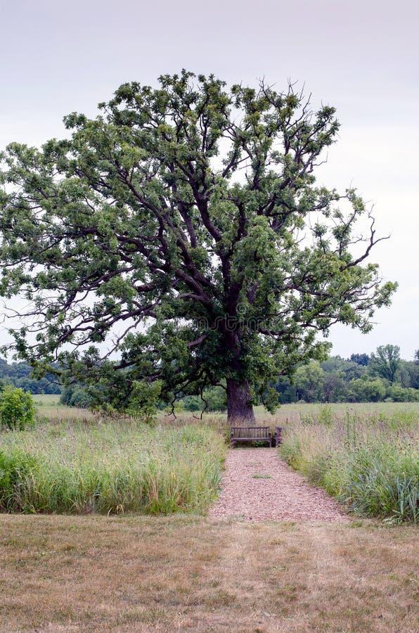 Stara drewniana ławka pod dostojnym dębem zdjęcie royalty free