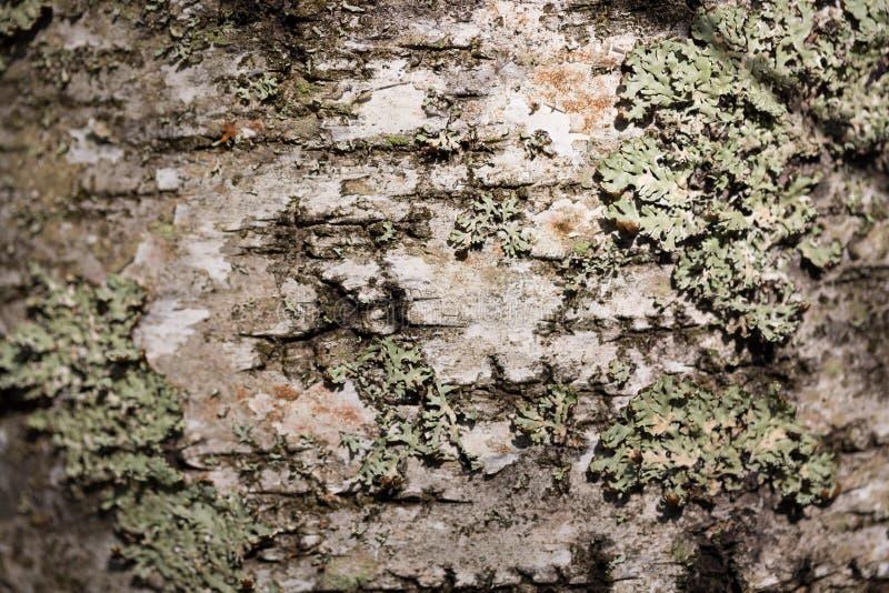 Stara drewniana drzewnej barkentyny cortex tekstura z mech Stary brzozy drzewo Selekcyjna ostrość zdjęcie royalty free