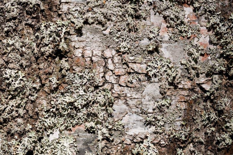 Stara drewniana drzewnej barkentyny cortex tekstura z mech Stary brzozy drzewo Selekcyjna ostrość zdjęcia royalty free