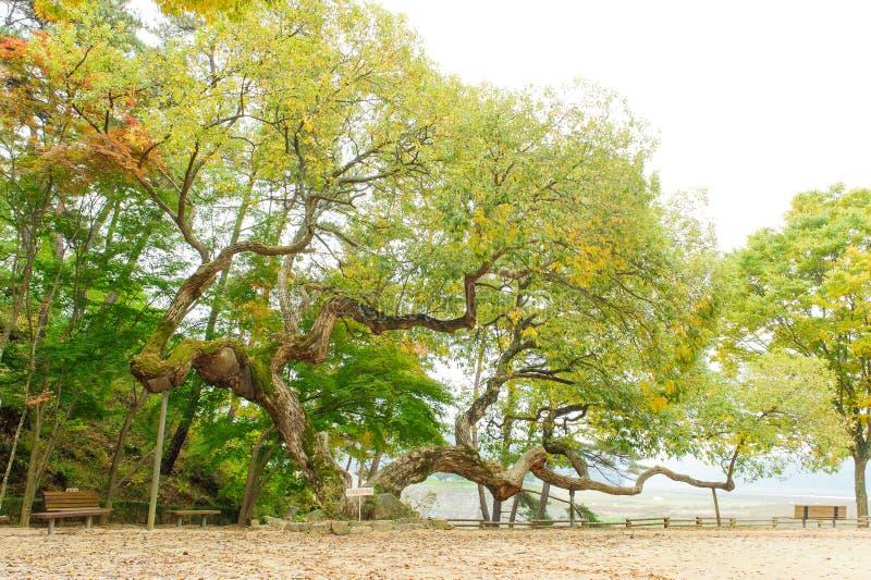 stara drzewna willow zdjęcia royalty free