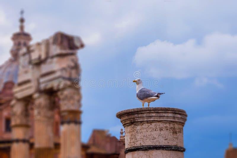 Stara ionic kolumna że seagull siedział puszek Romański forum Rzym fotografia stock