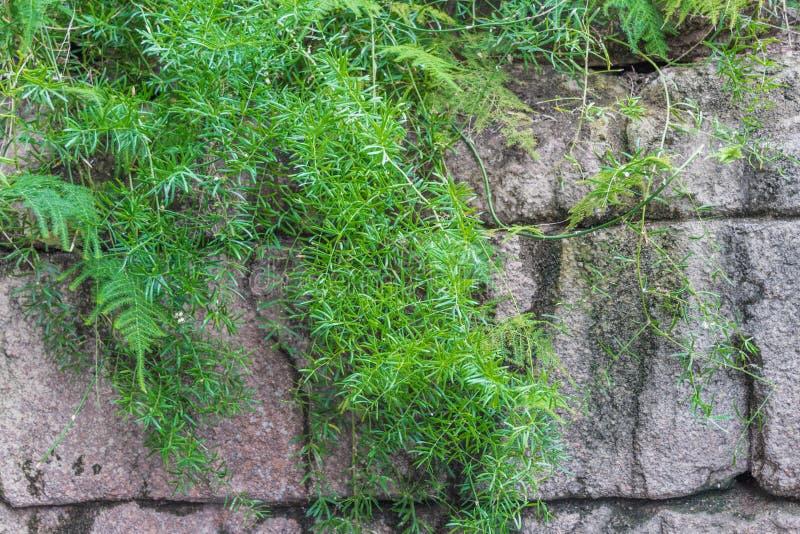 Stara kamienna ściana z bluszczem na nim Natura, wsi życie zdjęcie stock