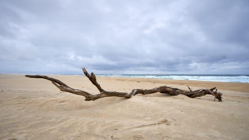 Stara kończyna na białych diunach Sao Jacinto fotografia stock