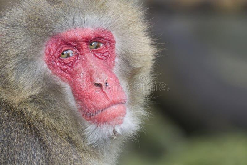 stara makak samiec fotografia stock