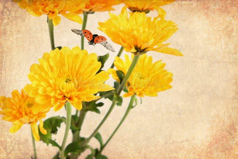 Stara papierowa tekstura z wizerunkiem piękny żółty kwiat stokrotka asteru i czerwieni biedronki latanie fotografia royalty free