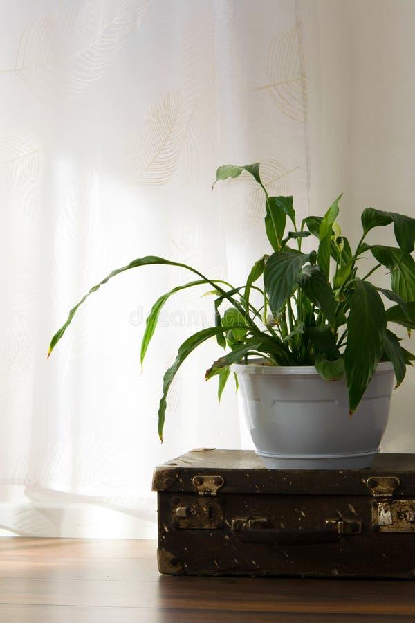 Stara rocznik walizka i doniczkowa roślina na luksusowej drewnianej podłodze, biel ściana z jaskrawymi okno Wewnętrznego projekta zdjęcie stock