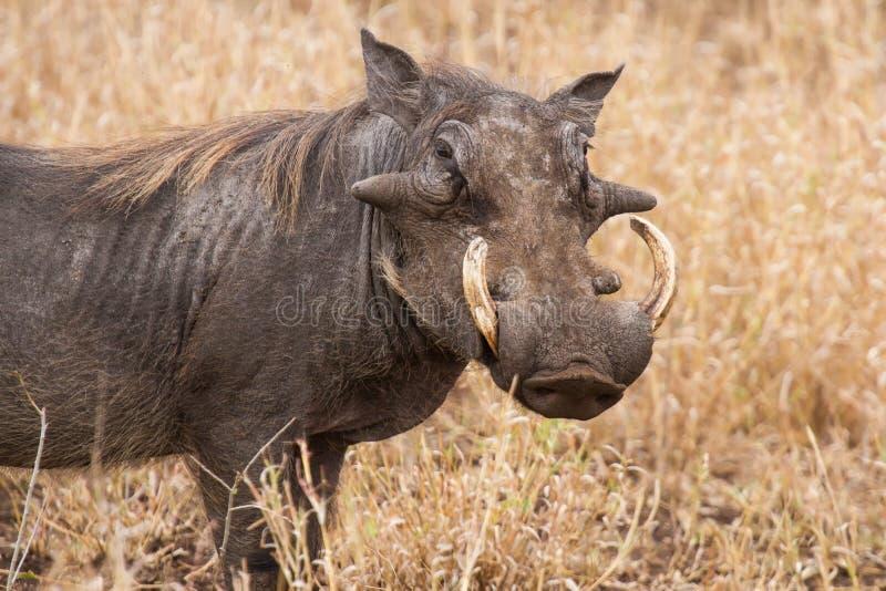 Stara warthog pozycja w suchej trawie patrzeje dla coś zieleń obrazy royalty free